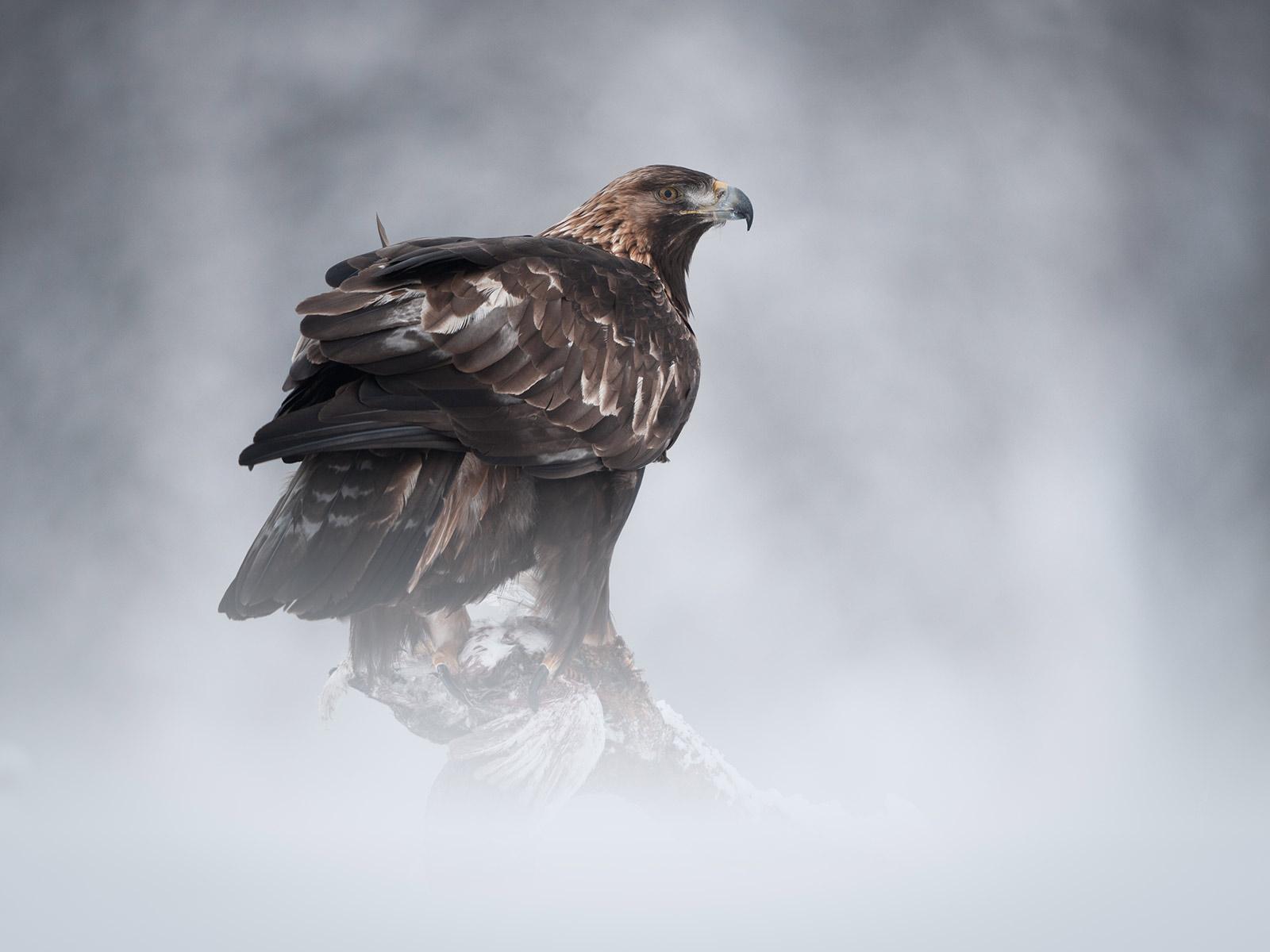 image photo aigle royal - Iffcam